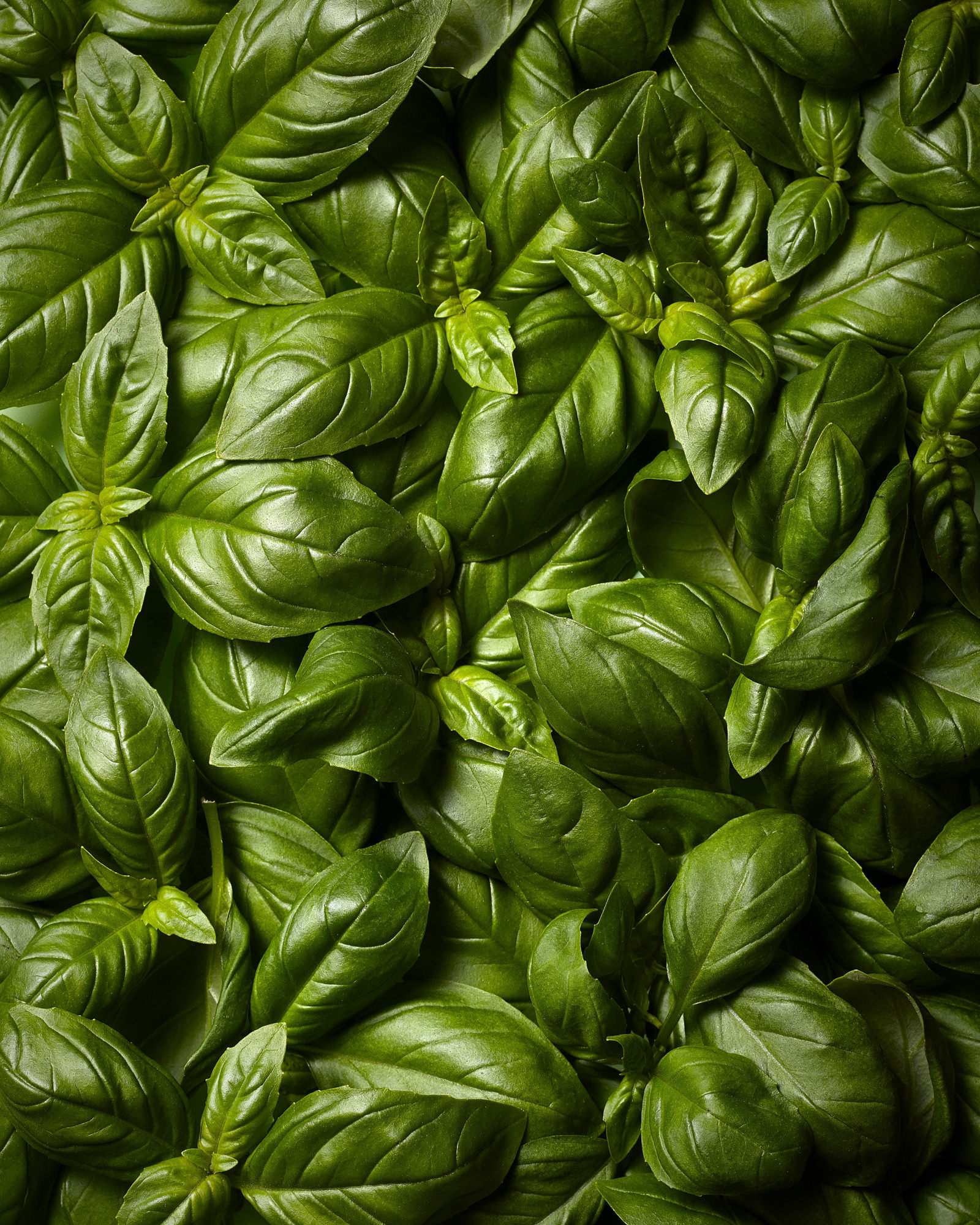 Fresh basil herb photography by leicester photographer scott choucino